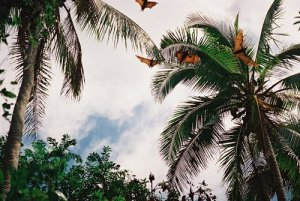flying foxes tonga