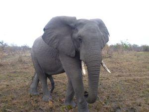 elephant upclose