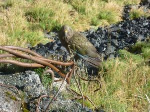 Kea at Homer