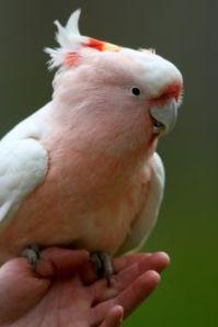 healsville parrot